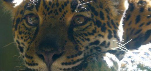 Jaguar: Orgullo de las Américas