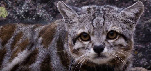 La protección del gato andino