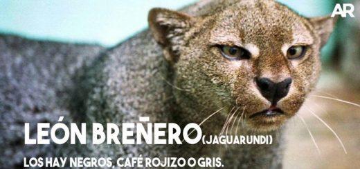 Felinos silvestres de Costa Rica