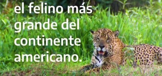 Día Internacional del yaguareté