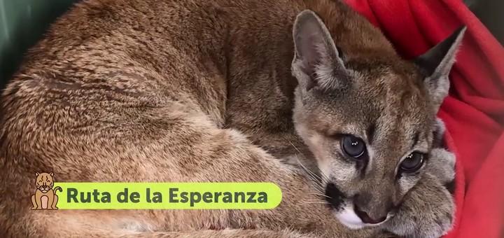 Puma va al centro de rehabilitación